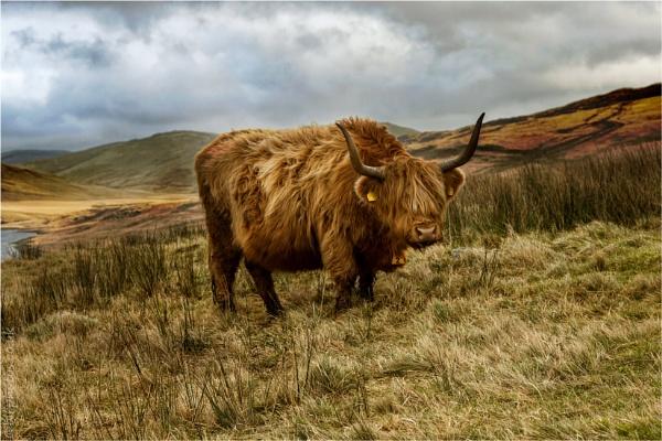 Highland Cattle by blrphotos