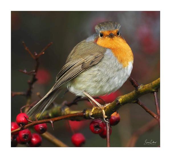 Christmas Robin by sidcollins