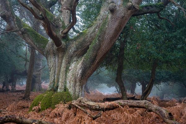 New Forest Oak by Paintman