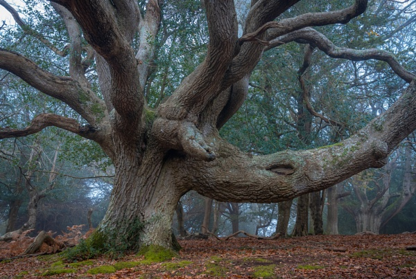 The Magnificent Oak by Paintman