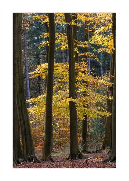 Beech Wood by Steve-T