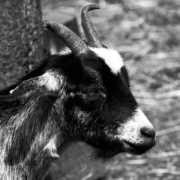 goat head shot by elmer1