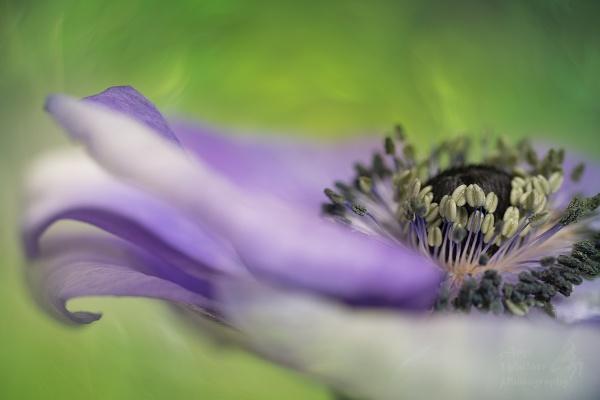 Anemone close up by Angi_Wallace
