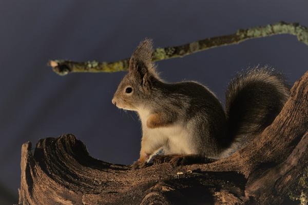 squirrel by maratsuikka