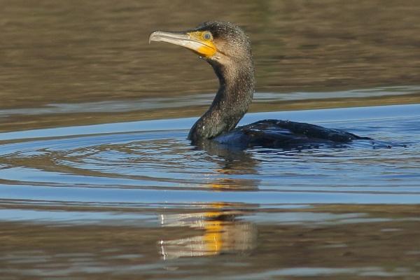 Cormorant by TerryMcK