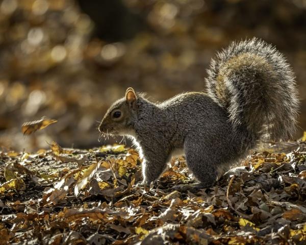 Squirrel Bathed In Autumnal Sunlight by adamsa