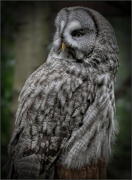 Ural Owl (2) by PhilT2