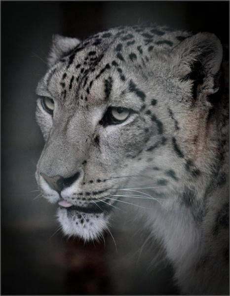Snow Leopard (1) by PhilT2