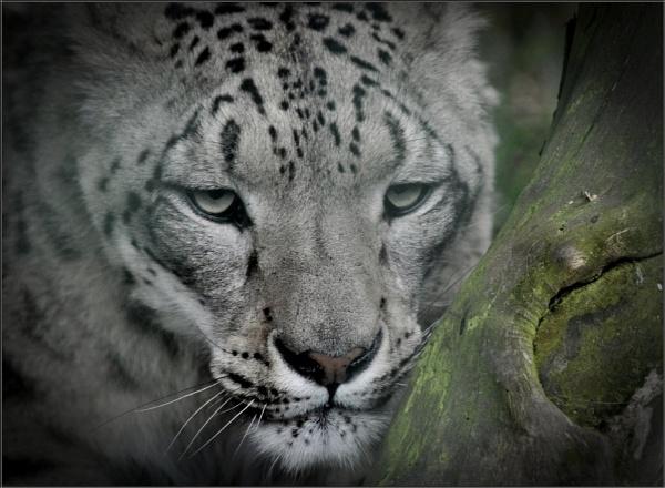 Snow Leopard II (1) by PhilT2
