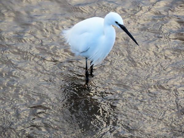 Cockwood Egret by JanOByrne