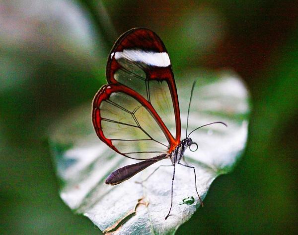 A Glasswing Butterfly  (Greta oto)  (best viewed large) by gconant