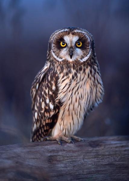 Short-eared owl by RobDem