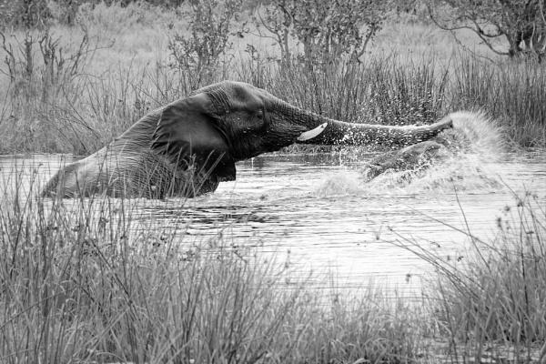 Playing Elephants in Botswana by pdunstan_Greymoon