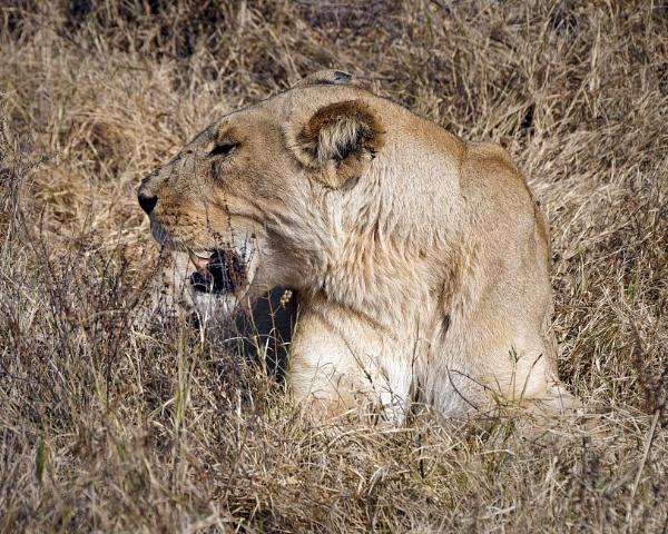 Sunbathing Lioness in Botswana by pdunstan_Greymoon