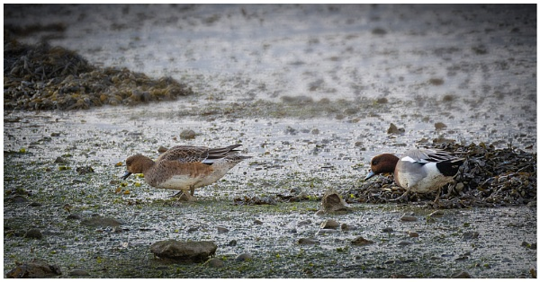 Wigeon by capto