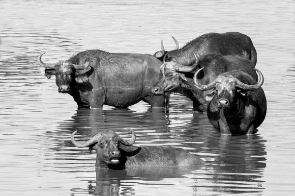 Buffalo in mono. by Coen