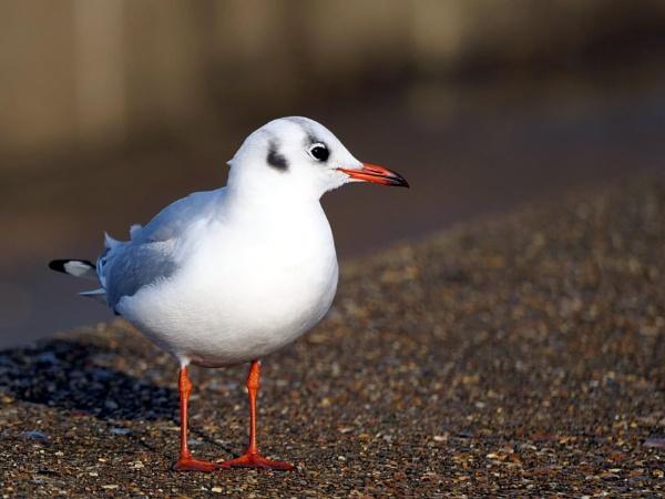Black headed gull by DerekHollis