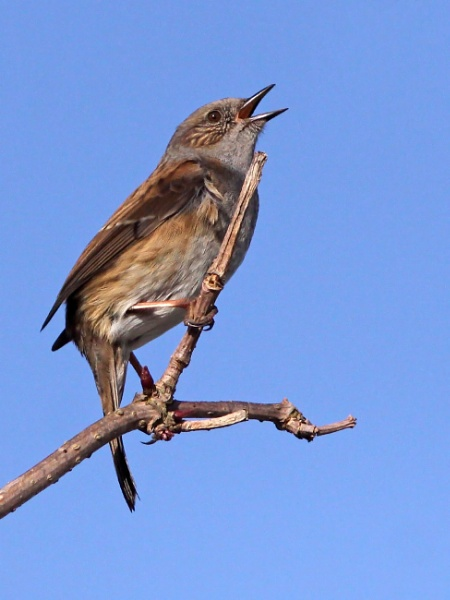 Singing Dunnock by bobpaige1