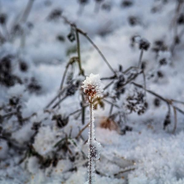 Winter flower by ViVla