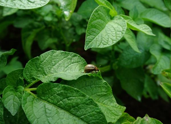 Colorado potato beetle by SauliusR
