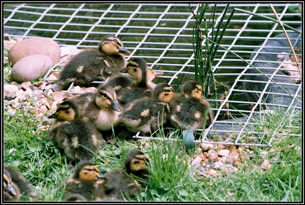 Ducklings by Imageryonly
