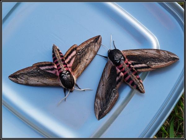 Privet Hawk Moth Pair by Imageryonly