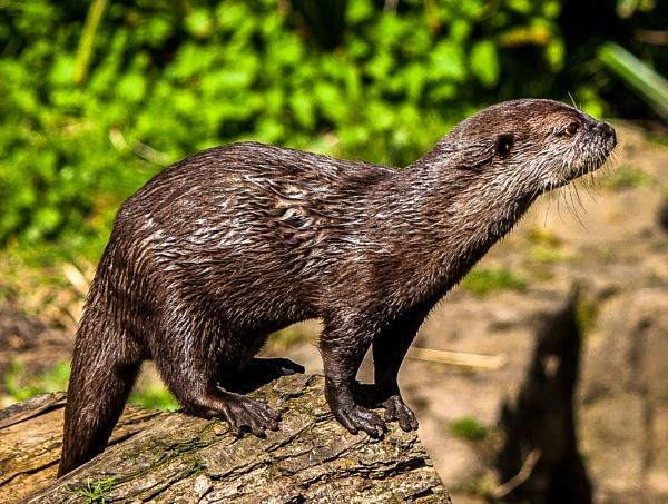 otter by rockabilly