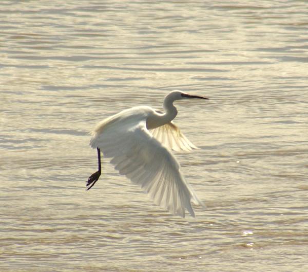 Little Egret in flight by MarkScollon