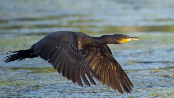 Closer Cormorant by chensuriashi