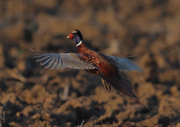 Pheasant n Flight by NeilSchofield