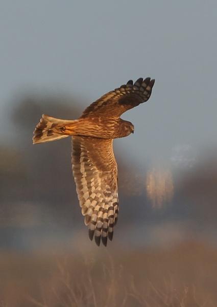 Hen Harrier in Flight  by NeilSchofield