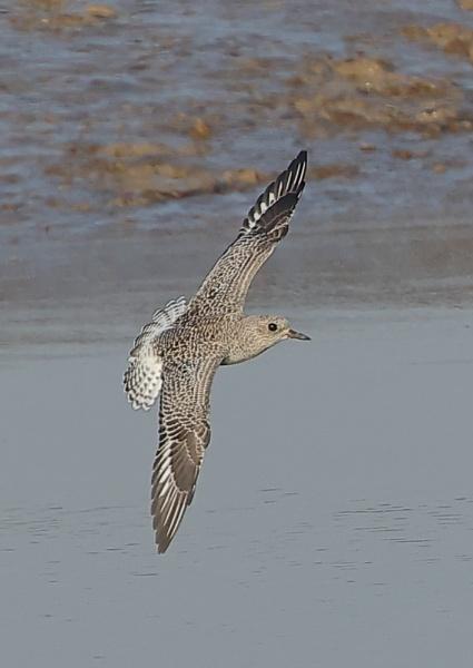 Grey Plovers in Flight by NeilSchofield
