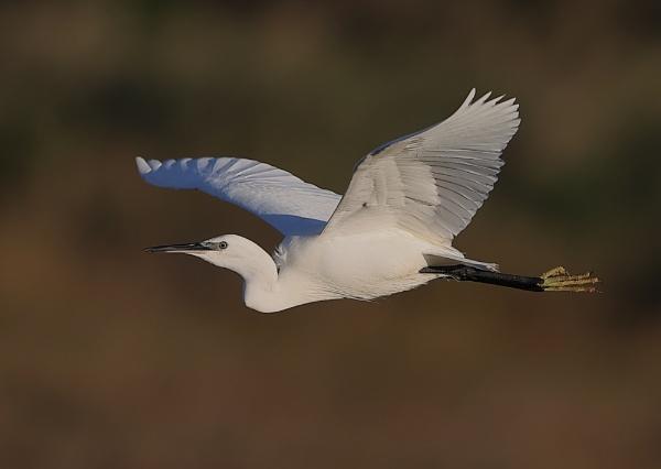 Little Egret in Flight by NeilSchofield