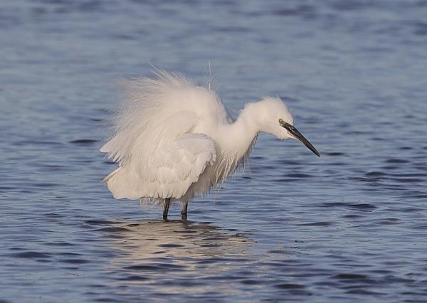 Little Egret by NeilSchofield