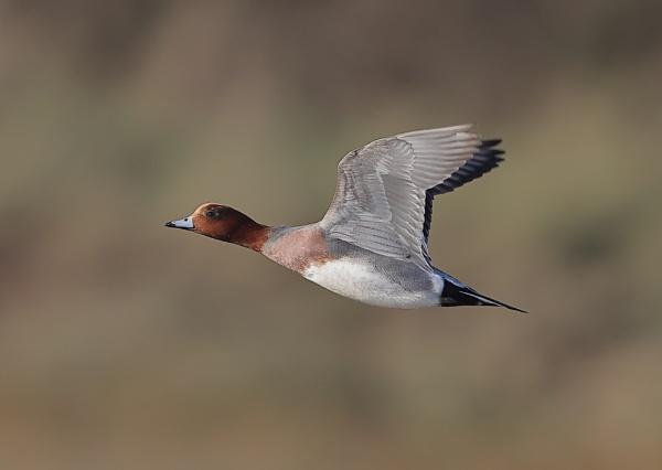 Wigeon in Flight Sequence by NeilSchofield