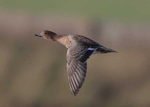 Female Wigeon in Flight by NeilSchofield