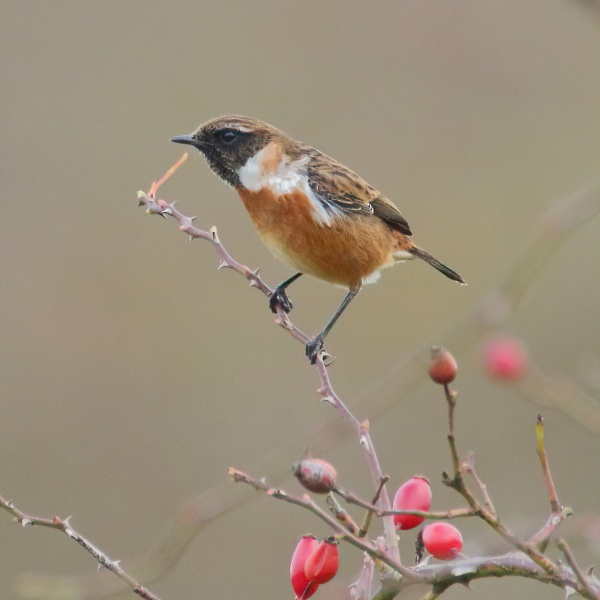 Stonechat by colin beeley
