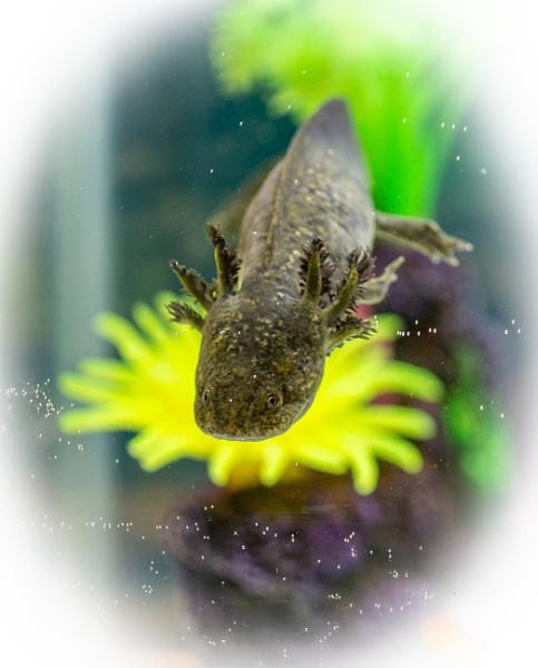 Axolotl by bobelle