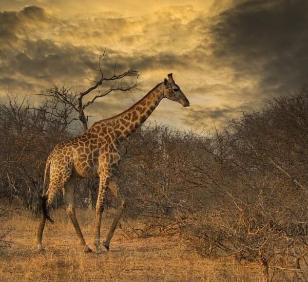 Giraffe modified sky by esoxlucius