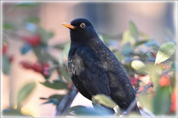 Blackbird by alant2
