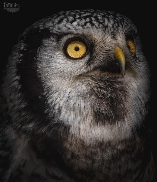 Northern Hawk Owl by MartinWait
