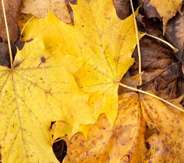 Autumnal Leaves 2 by Nikonuser1
