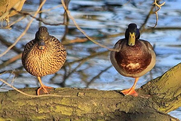 2 ducks, 2 feet by jeakmalt