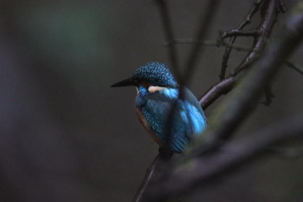 kingfisher by chainshot