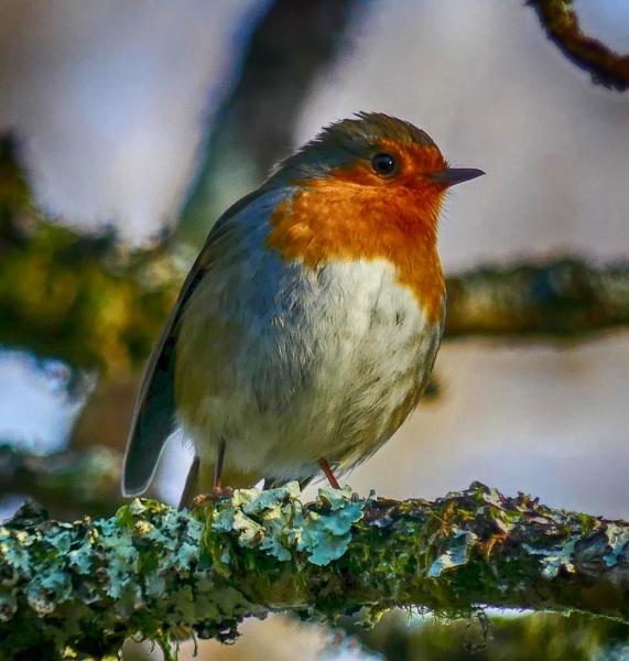 Robin by Backabit