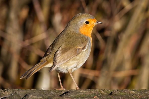 Christmas Robin by PGibbings