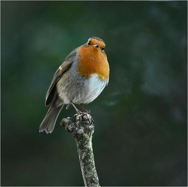 Robin by MalcolmM