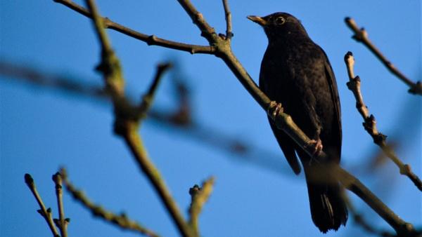Blackbird by GwB