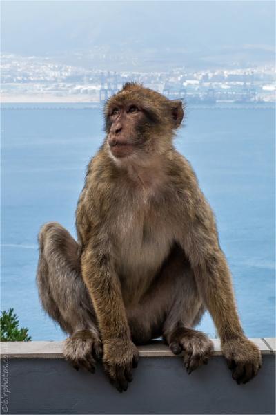 Macaque by blrphotos