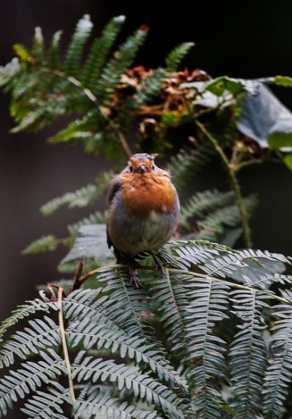 Robin in the Bracken by frenchie44